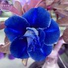 Guarantee Adenium Dark Blue & White Petals Flower Seeds, 2 seeds