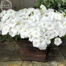 Guarantee Petunia 'Success' White Trailing Petunia Seeds, 200 vigorous