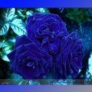Guarantee Rare Heirloom 3-Flower Blue Damask Rose Bush Flower 50 Seeds