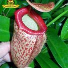 Guarantee Eating Mosquito Carnivorous Plants Nepenthes 200 Seeds DL106CxD