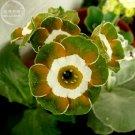 Primula Auricula Miss Teak Flower 15 Seeds Ship From Cina Warehouse