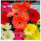 100 Seeds A Bag Sale! Gerbera Daisy Hybrids Mix Flower