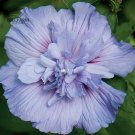 20 Pcs Hibiscus Rosa-sinensis Perennial Flower Seeds Big Blooms MXT22