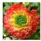 100 Pieces/Bag New Fresh Scabiosa Flower Plantas Perennial Home Garden