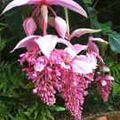 Medinilla Magnifica Bonsai Very Beautiful Bonsai Flower Bonsai 100 Pcs