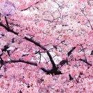 Japanese Pink Cherry Blossom Sakura Tree, 20 seeds, Oriental Sweet