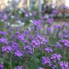Moss Verbena Purple Flower 300 Seeds Ship From USA