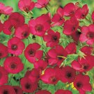 Scarlet Flax Seeds Beautiful Bright Red Flowers 250 Seeds Ship USA