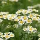 Roman Chamomile Seeds NON-GMO Ground Cover Teas & Medicine 3500 Seeds Ship From USA