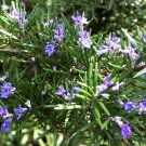 Rosemary Seeds NON-GMO Heirloom Herb 50 Seeds Ship From USA