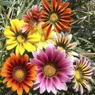 4000 Seeds USA Product ICE PLANT MIX Seeds (Livingston Daisy) Ground Cover Rock Garden