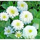 50 Seeds USA Product NEW JERSEY TEA Seed Organic American Native ShrubBush Shade Drought Tolerant