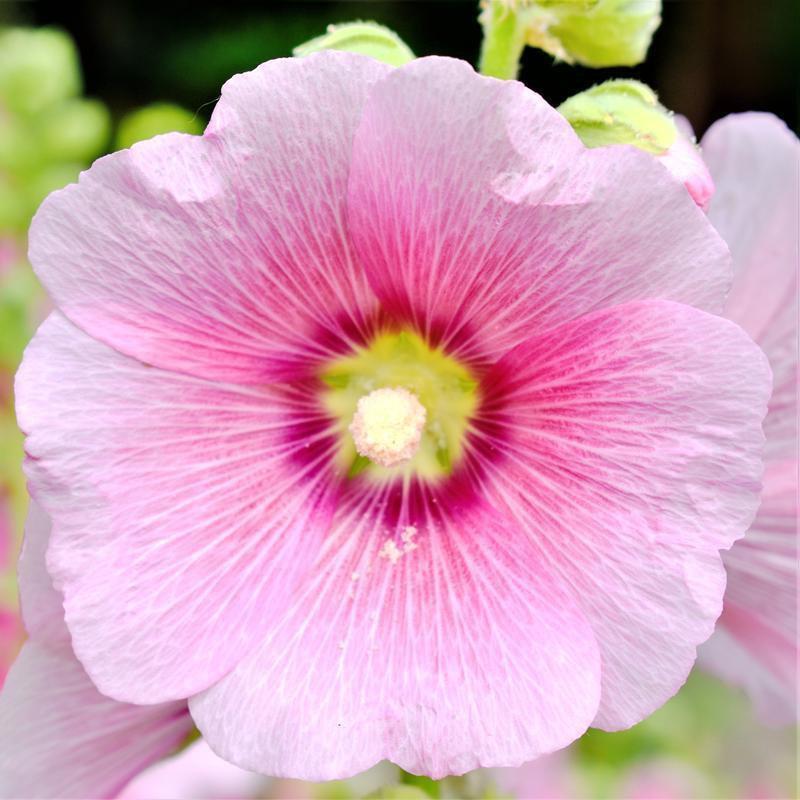 200 Seeds USA Product Chrysanthemum Tri-Color PAINTED DAISY Seeds GardenPatio  Annual