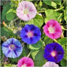 1000 Seeds USA Product VIRGINIA STOCK Flower Seeds SunPart Shade Lilac White Yellow Blooms Annual