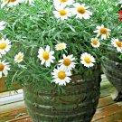 1000 Seeds USA Product PURPLE GLEAM CALIFORNIA POPPY Flower Seeds Native Wildflower GardenPotted