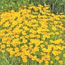 "1OZ 4000 Seeds USA Product DWARF GOLD COSMOS(Lady Bird)Flower Seeds16"" Tall Blooms Summer to Fall"