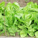 1OZ=2500 Seeds USA Product GIANT NOBEL SPINACH Seeds Organic Non-GMO SpringFall GardenContainer