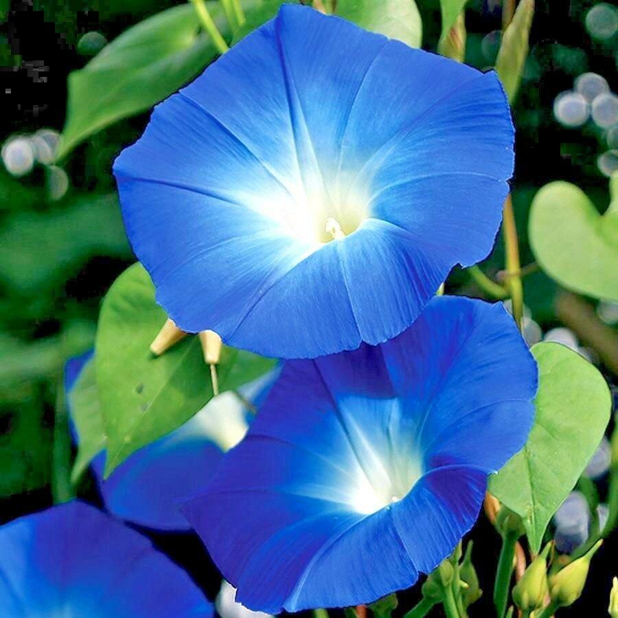 100 Seeds USA Product SWAMP MARIGOLD Flower Seeds Beggar's TicksTickseed Fast Growing Butterflies
