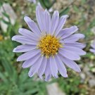 100 Seeds USA Product SWAMP ASTER Seeds American Native Wildflower WetNormal Soils Home Gardens