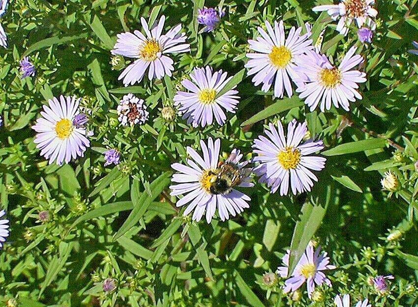 51 Seeds USA Product WESTERN(NO LEAF)SUNFLOWER Seeds American Native Wildflower Original Prairie