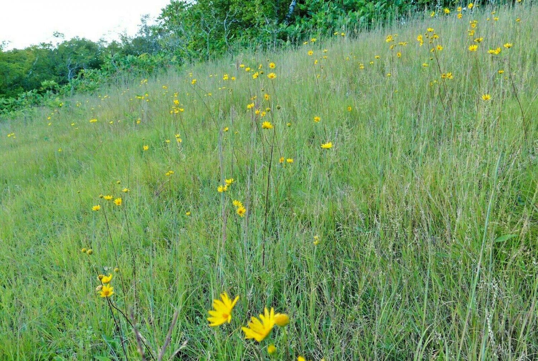 500 Seeds USA Product  LITTLE BLUESTEM Seeds American Native Prairie Grass Clumping Ornamental