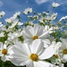 COSMOS PURITY 30 FRESH FLOWER USA SEEDS  Ship From USA