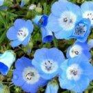 BABY BLUE EYES 100 FRESH USA SEEDS