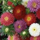 CHINA ASTER POWDERPUFF MIX FLOWER USA SEEDS  50 FRESH USA SEEDS