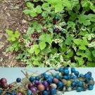 10 Variegated PORCELAIN BERRY VINE Ampelopsis Brevipedunculata Peppervine SeedsShip From USA