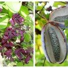 100 - 1000 Bulk CHOCOLATE VINE Edible Fruit Akebia Quinata Fragrant Flower SeedsShip From USA