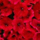 1 g - 1 oz Bulk Fire Chief RED PETUNIA Nana Compacta Flower Seeds 8000 - 250000Ship From USA