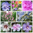 1000 Bulk ROSE of SHARON Mixed Colors Hibiscus Syriacus Tree Shrub Flower SeedsShip From USA
