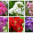 1000 Bulk CREPE MYRTLE Mixed Colors Lagerstroemia Mix Tree Shrub Flower SeedsShip From USA