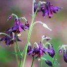 20 BLACK COLUMBINE Dark Columbine Aquilegia Atrata Deep Purple Flower SeedsShip From USA