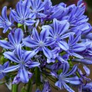 25 BLUE LILY OF THE NILE Agapanthus Orientalis African Lily Flower Seeds Flat SHShip From USA