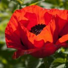1000 Red TURKISH POPPY Heirloom Papaver Red & Black Flower Seeds * Flat ShippingShip From USA