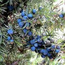 60 Organic Seeds COMMON JUNIPER Juniperus Communis Tree Shrub - 20 Blue BerriesShip From USA