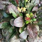 15 PURPLE KNOCKOUT SALVIA Lyrata Lyre-Leaf Sage Lavender Blue Flower Seeds +GiftShip From USA
