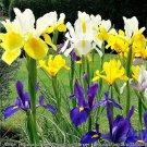 20 MIXED SIBERIAN IRIS Sibirica Iris Bicolor Blue Red White Purple Flower SeedsShip From USA