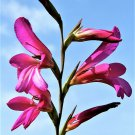 10 ITALIAN GLADIOLUS Italicus Sword Lily Purple Pink Flower Seeds *Flat ShippingShip From USA