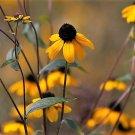 50 OZARK GOLD CONEFLOWER Echinacea Paradoxa Yellow Bushs Coneflower Flower SeedsShip From USA