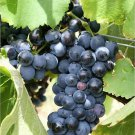 10 Purple CONCORD GRAPE Fruit Vine Vitis Labrysca White Flower Seeds *Flat ShipShip From USA