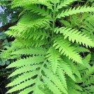1000 + SENSITIVE FERN Onoclea Sensibilis aka Bead Sympathy Spores SeedsShip From USA