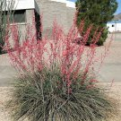 25 RED YUCCA Hesperaloe Parviflora Hummingbird, Coral, Texas Yucca Flower SeedsShip From USA