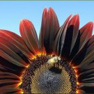 25 CHOCOLATE CHERRY SUNFLOWER Helianthus Annuus Red & Brown Flower Seeds + GiftShip From USA
