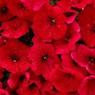 500 Fire Chief RED PETUNIA Nana Compacta Sun Annual AAS Winner Flower SeedsShip From USA
