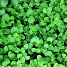 20 CORSICAN MINT Mentha Requienii Herb Fragrant Ground Cover Flower Seeds + GiftShip From USA