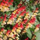 10 FIRECRACKER VINE Flower Mina Lobata Exotic Love Spanish Flag Ipomoea SeedsShip From USA