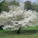 10 American WHITE FLOWERING DOGWOOD Small Tree Cornus Florida Southern SeedsShip From USA