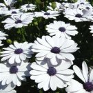 50 WHITE AFRICAN CAPE DAISY Dimorphotheca Sinuata Flower Seeds *Comb S/H & GiftShip From USA